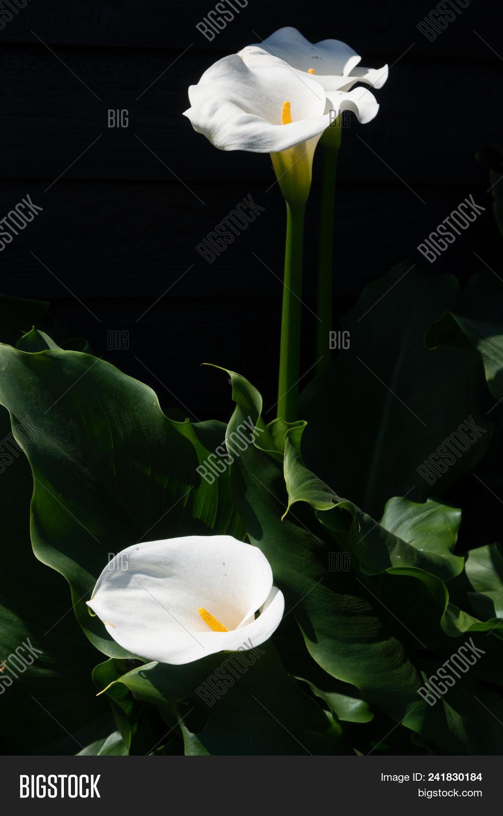 White Calla Lily Plant Image Photo Free Trial Bigstock