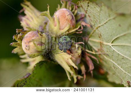 Green Stink Bug (palomena Prasina) On Hazelnuts (corylus Avellana). The Green Stink Bug Belongs To T