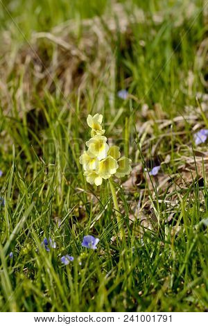 Single Cowslip (primula) On Spring Meadow. Cowslips Belong To The Primulae (primula) And Are Widely