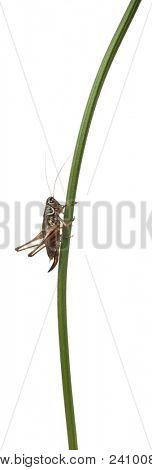 Female Shield-back Katydid, Platycleis tessellata, in front of white background poster