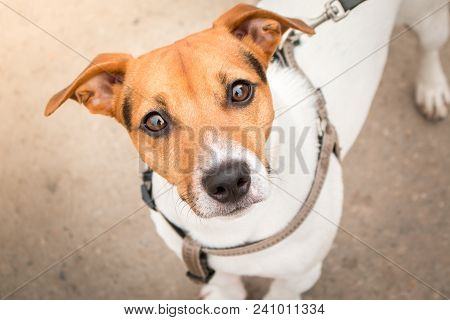 poster of Smart look of the dog. A curious dog. Jack Russell Terrier on a leash. Expressive dog eyes look into the lens. A pet. Four-legged friend. Close-up portrait of a dog.