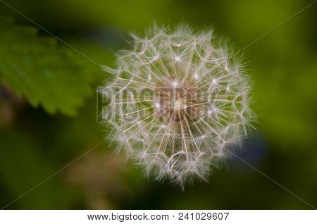 Just A Dandy: A Lone Dandelion Bloom Amongst Green Leaves