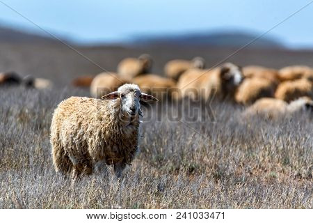 Single White Sheep And Flock Of Sheep Grazing In Background