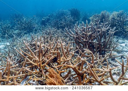 Coral Reef In Carbiiean Sea Off Coast Of Bonaire Staghorn Coral,acropora Cervicornis