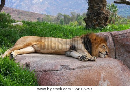 Lion Sleeping On A Rock