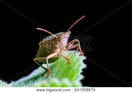 Green Shield Bug Palomena Prasina Sitting On A Sheet On A Black Background.
