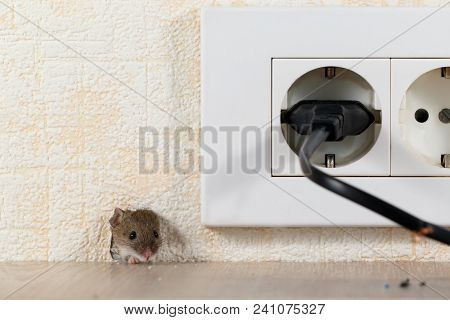 Closeup Mouse (mus Musculus)  Peeps Out Of A Hole In The Wall With Electric Outlet. Mice Control Con