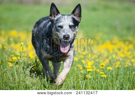 Happy Australian Cattle Dog Running Through A Meadow With Dandelions. Purebred Blue Heeler Playing O