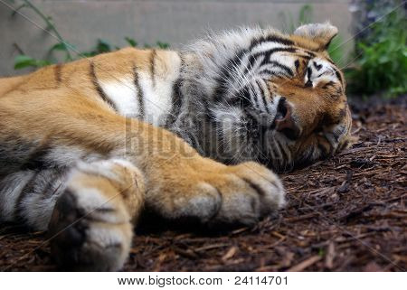 a sleeping tiger