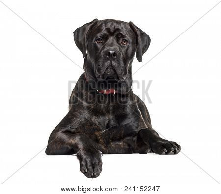 Mixed-breed dog , 6 months old, lying against white background