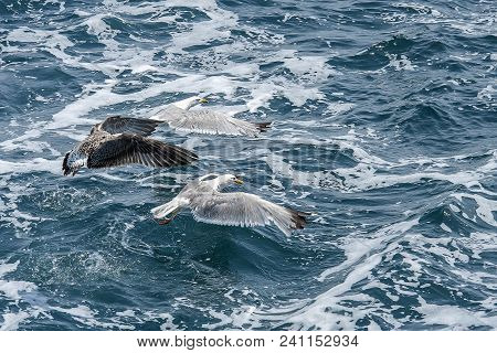 Larus Linnaeus. Seascape. Blue Sea Water, Flying Flock Of Gull Over The Water Surface, Hunting For F