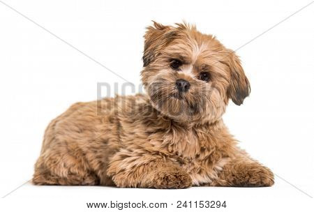 Lhasa apso dog, 8 months old, lying against white background