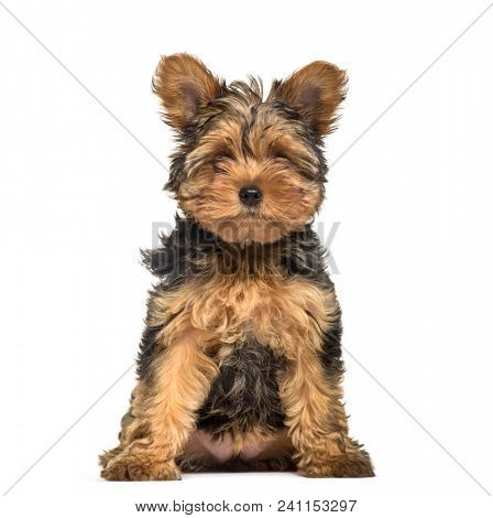 Yorkshire Terrier puppy , 3 months old, sitting against white background