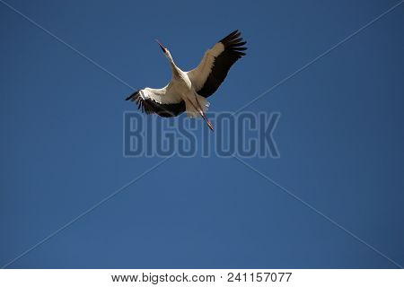 A Stork Captured In Mid-flight With The Blue Sky In The Background And In A Totally Aerodynamic Posi