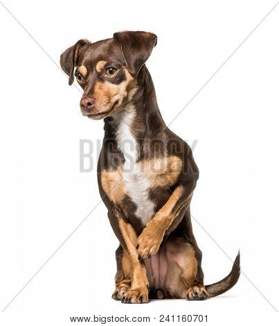 Mixed-breed dog , 1.5 years old, sitting against white background