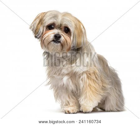 Mixed-breed dog , 2 years old, sitting against white background