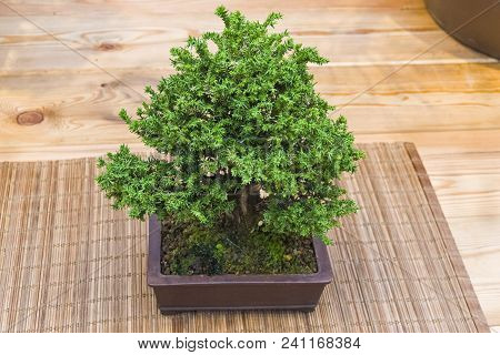 Bonsai - Japanese Sugi Pine (cryptomeria Japonica). Age - About  Years. Exhibition Of Bonsai In Apte
