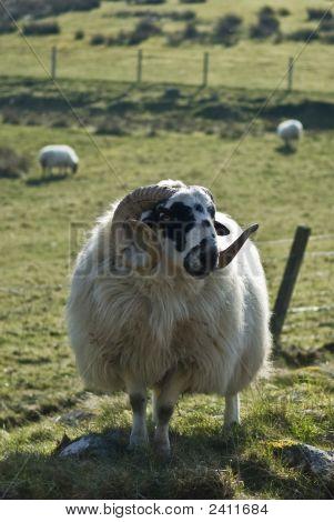 Highland Sheep Farming