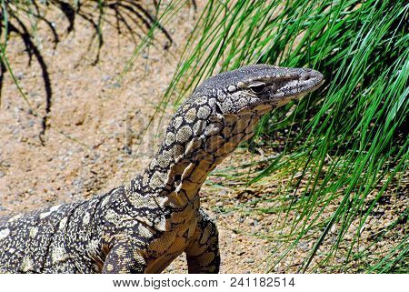 This Large Mangrove Monitor Lizard (family Varanidae) Was Photographed On A Shoreline In Southern Au