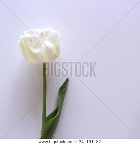 Styled Stock Photo. Spring Feminine Scene, Floral Composition Beautiful White Tulip On White Backgro