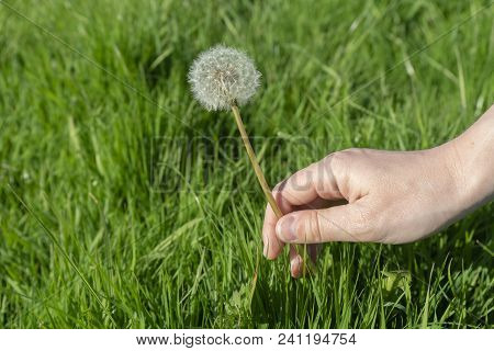 A Caucasian Female Hand Holdinga Dandelion At The Stem Of The Flower Plant In A Field Of Green Grass