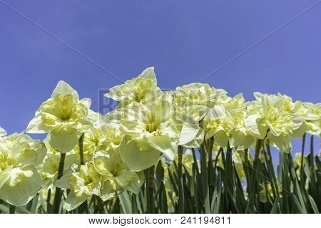 Bright Yellow Narcissus Flowers Against A Bright Blue Summer Sky