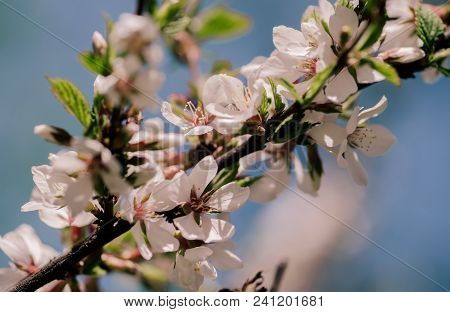 White Blossom Flower And Pink Bud On A Apple Tree Branch In Spring Bloom Full Of Bright Light As War
