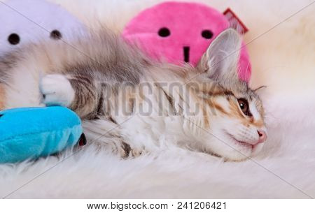 Sweet Norwegian Forest Cat Kitten Resting With Plush Toys On Sheep Skin