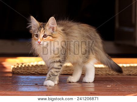 Beautiful Norwegian Forest Cat Female Kitten Standing