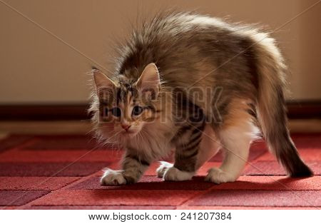 Norwegian Forest Cat Kitten Arched Its Back. She Has An Enemy Somewhere