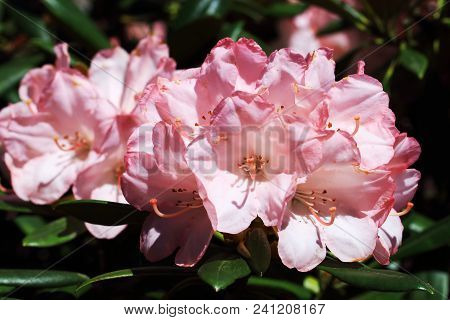 Pink Flowers Of Rhododendron Yakushimanum.the Rhododendron Yakushimanum S A Winter Hardy, Compact Rh