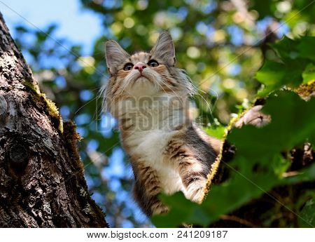 Norwegian Forest Cat Kitten Is In Tree