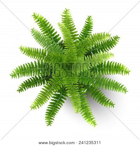 Top View Of Houseplant Fern In A Pot.