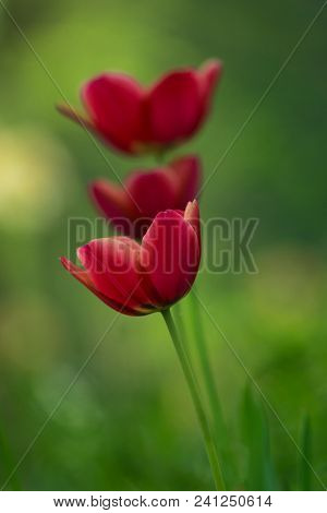 Close-up Of Beautiful Red Tulips On A Spring Morning. First Rays Of The Sun Strike Three Beautiful R