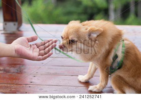 Woman Owner Give Shake Hand With Small Pomeranian Dog Cute Pets Friendly
