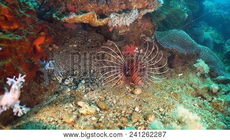 Lionfish On Coral Reef. Dive, Underwater World, Corals And Tropical Fish. Philippines, Mindoro. Divi