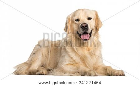 Golden Retriever dog lying  against white background
