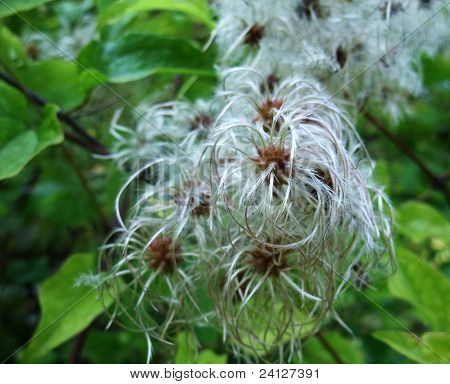 Fluffy Seed