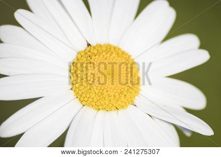 Bellis Perenis, Detailed White And Yellow Daisy Flower In A Green Background