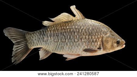 Crucian carp isolated on black background with accurate clipping path