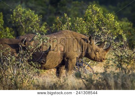 Black Rhinoceros In Kruger National Park, South Africa ; Specie Diceros Bicornis Family Of Rhinocero