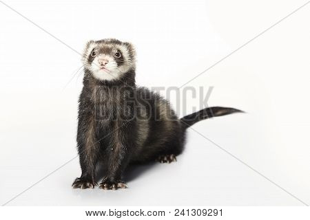 Standard color male ferret on white background posing in studio poster