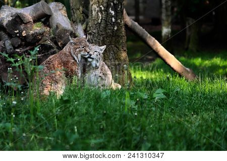 Portrait Of Paar Eurasian Lynxes In The Forest. Photography Of Wildlife.