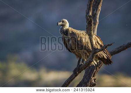 White-backed Vulture In Kruger National Park, South Africa ; Specie Gyps Africanus Family Of Accipit