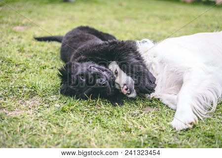 Purebred Black Newfoundland Puppy Playing With A White Golden Retriever Adult Dog