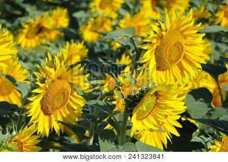 Sunflower Field Landscape. The Field Of Blooming Sunflowers On A Background Sunset. Sunflower Natura
