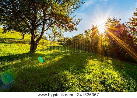 Sunset In The Apple Orchard On Hillside. Lovely Rural Scenery In Summer. Beautiful Agricultural Back