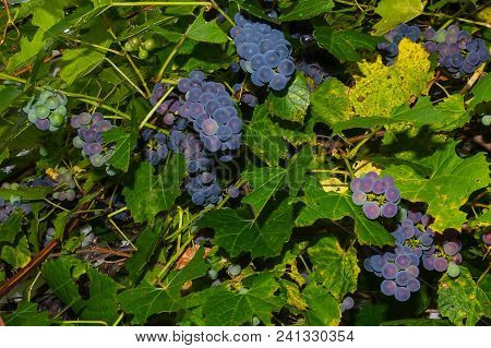 Close Up Of Grapes Ripening On The Vine.