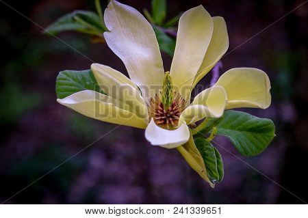 Close-up Of A Vibrant White Magnolia Flower In Bloom With Dark Background