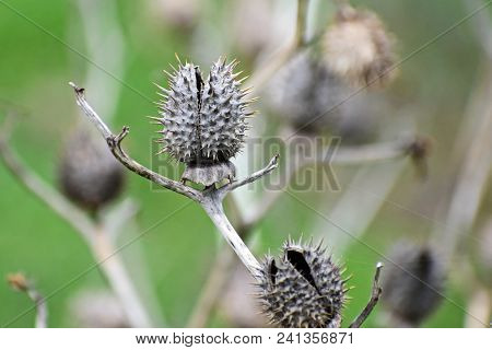 Dry And Open Toxic Datura Seedpods With Thorns In Nature